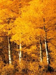 Aspen Trees Montana
